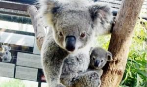 Ny Koala i Chiang Mai Zoo